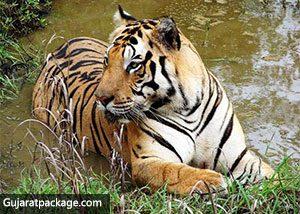 tiger-gir-forest